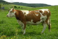 Cow. Standing cow Royalty Free Stock Photos