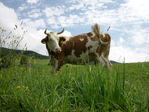 Cow. Standing cow Royalty Free Stock Images