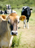 Cow 5. A cow staring at the camera, other cows in the background Royalty Free Stock Photography