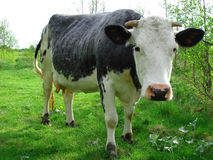 Free Cow Royalty Free Stock Photography - 5101767