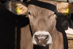 Cow. A close-up of a cow Royalty Free Stock Photo
