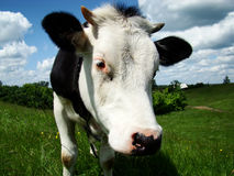 The cow Royalty Free Stock Image