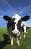 Cow. Inquisitive Friesian cow in bare landscape with blue sky Stock Images