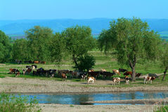 Cow. Herd of cows hot day about the river Stock Photography