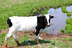 Cow. A cow walk around the grassland Royalty Free Stock Photography