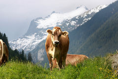 Cow. Brown cow on the alpine meadow Royalty Free Stock Image