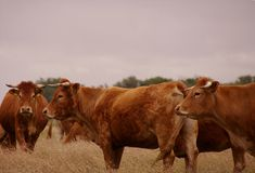 Cow. Blonde d'Aquitaine cows standing in a rough grazing Royalty Free Stock Image