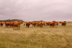 Cow. Curious Blonde d'Aquitaine cows standing in a rough grazing Royalty Free Stock Photography