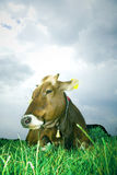 Cow. Calmly resting on pasture Royalty Free Stock Photography