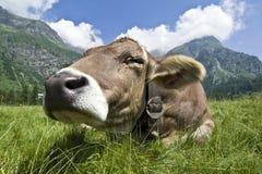 image photo : Cow