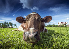 Free Cow Royalty Free Stock Photos - 56718428