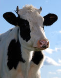 Cow. White cow with black stains on a pasture against the dark blue sky Stock Photo