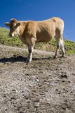Cow. In the european alps at summer Stock Photo