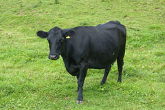 Cow. The black cow and lots of fly Stock Images