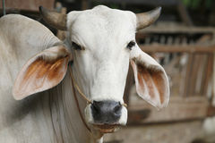 Cow. A simple portrait of a white cow Royalty Free Stock Images