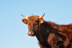 Cow. Long haired cow against a blue sky stock photo