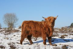 Cow. Long haired cow in a winter scene royalty free stock photo