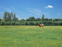 Cow. Standing on green meadow Royalty Free Stock Images