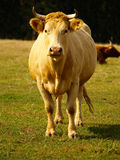 The cow. Out at grass with bull Royalty Free Stock Photos