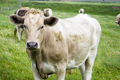 Cow. Brown cow in a field Royalty Free Stock Image