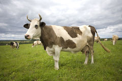 Cow. On green grass and cloudy sky Stock Image