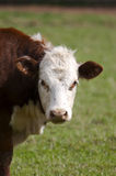 Cow. Close Up Royalty Free Stock Photo
