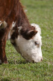 Cow. Grazing Royalty Free Stock Images