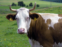 Cow. Looking cow Royalty Free Stock Images
