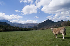 Cow. In freedown Royalty Free Stock Image