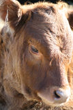 Cow. In the Midday sun Stock Image