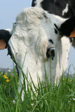 Cow. Portrait of a grazing cow Royalty Free Stock Photography