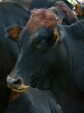 Cow. Resting Stock Photo