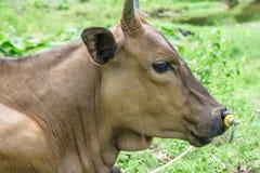 Cow8 Стоковые Фотографии RF