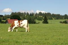 Cow. In switzerland Stock Images