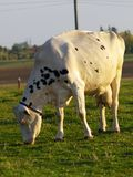 Cow. A grazing cow on a green farm field stock photo