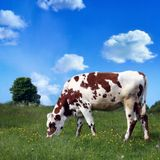 Cow. Brown cow grazing, focus on the cow royalty free stock image