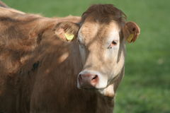 Cow. With earmark looking at the camera stock photo