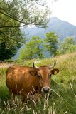 Cow. Red cow in a green meadow Stock Photography
