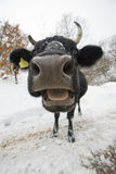 Cow. Close up with fish eye Royalty Free Stock Photography