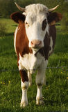 The Cow. Spotted cow in early morning light Royalty Free Stock Photography