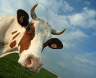 Cow. A cow's head Royalty Free Stock Image