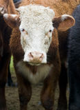 Cow. Close up on a cow in uruguay farm land Royalty Free Stock Photos