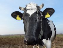 Cow. At front Stock Image