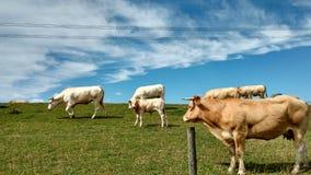 Cow2 Fotografering för Bildbyråer