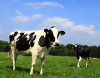 The Cow Royalty Free Stock Photo