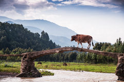 A cow acrossing bridge Royalty Free Stock Photo