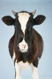 Cow Against Blue Sky Stock Photo