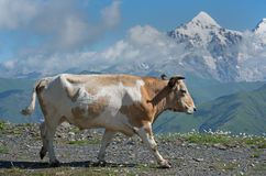 Cow against high mountains background Royalty Free Stock Images