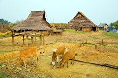 Cow at Akha Village, Pongsali, Laos Stock Photos