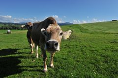 Cow Allgäu Germany. Milk cow in district Allgäu Germany Stock Image